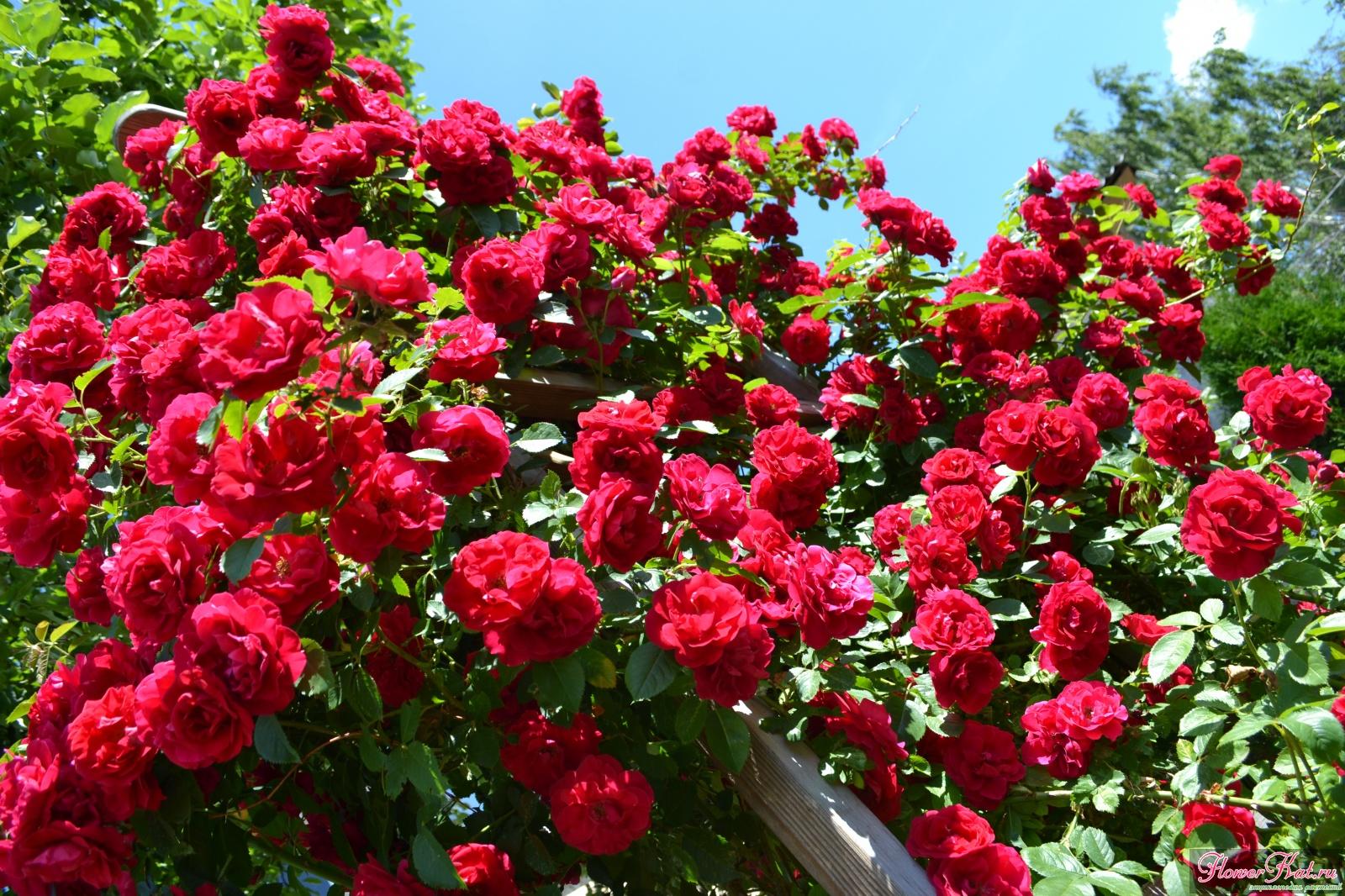 сначала розы плетистые фото с названием сорта там или