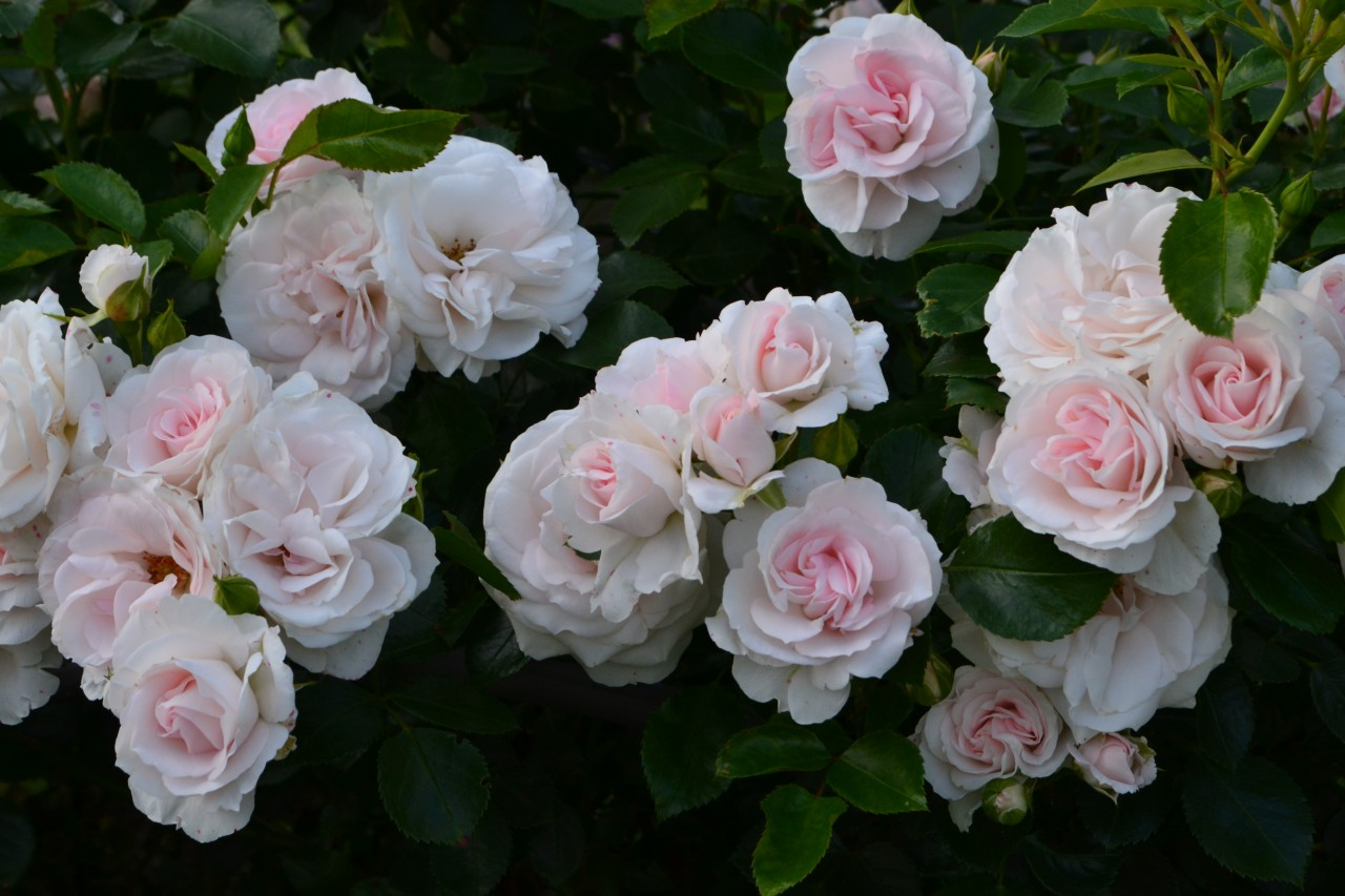 роза аспирин фото и описание нас каждый