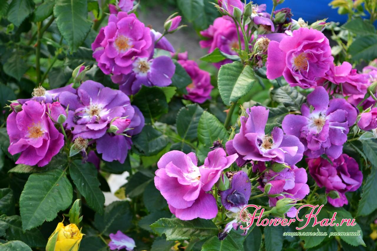 Цветы разного возраста на шрабе Рапсодия