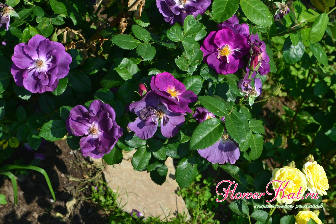 Листва розы шраба Рапсодия
