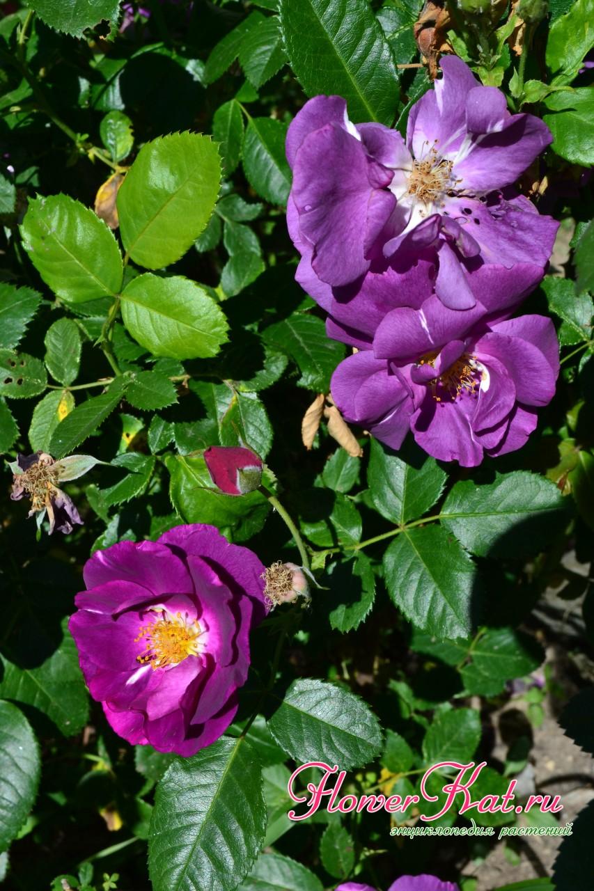 Саженцы розы рапсодия быстро переходят в рост
