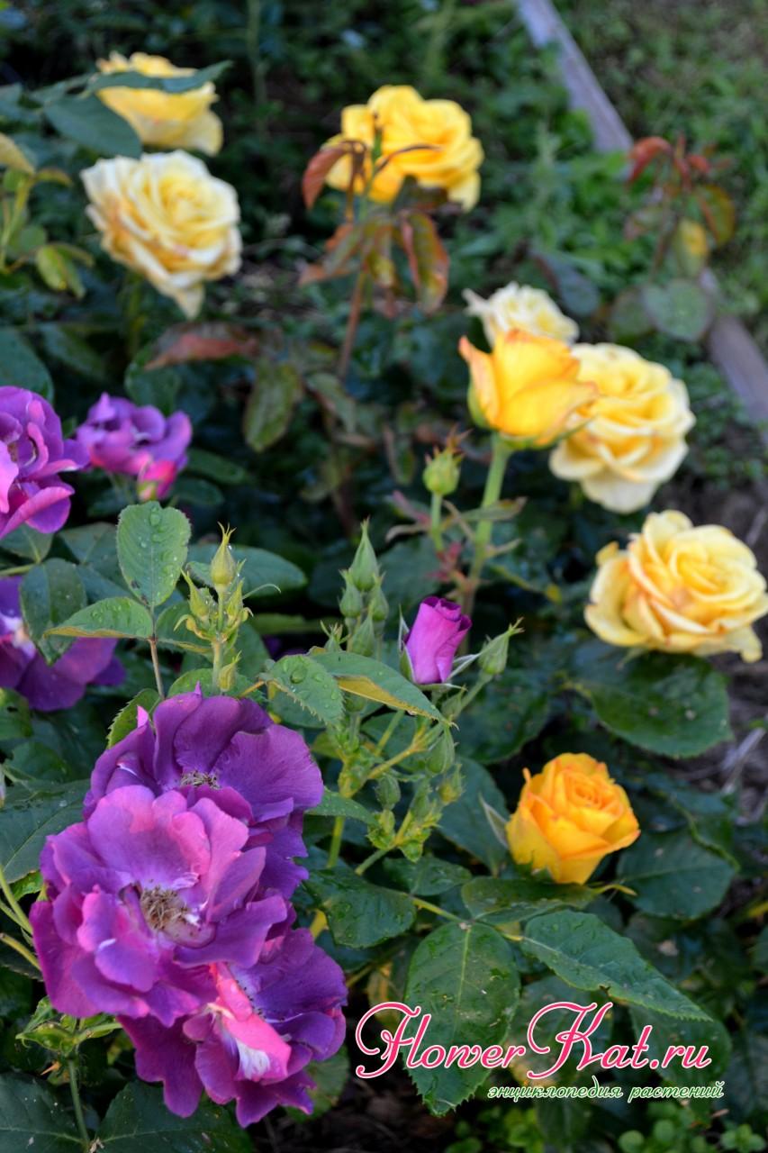 Сочетание цветов шраба Рапсодия с желтыми розами