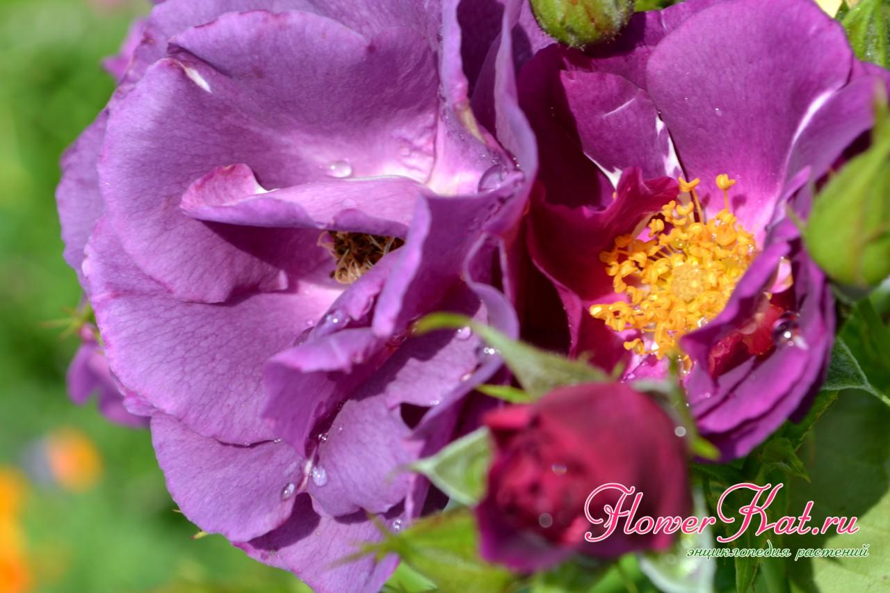 Слабомахровый шраб рапсодия. Фиолетовые цветы