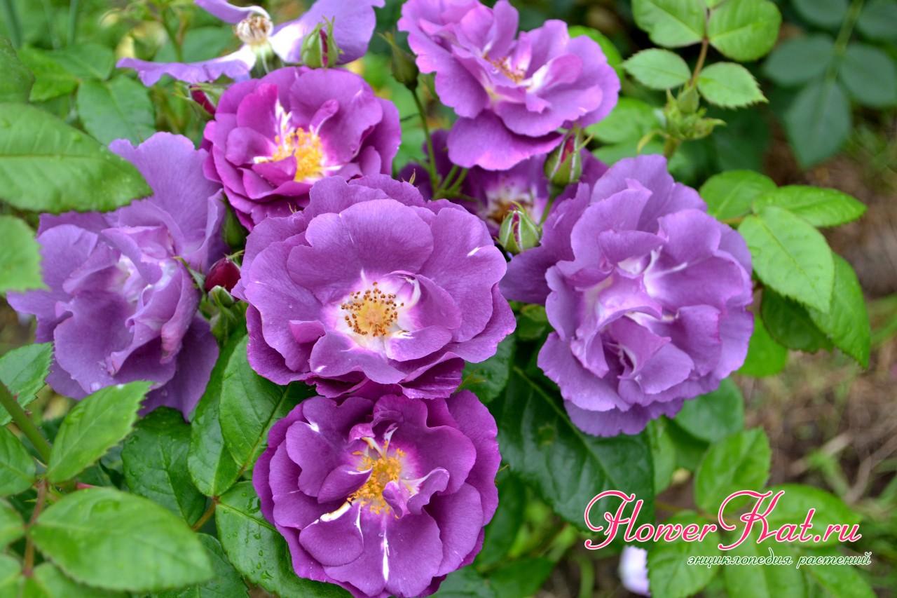 Роза рапсодия ин блю описание сорта правила посадки и выращивания