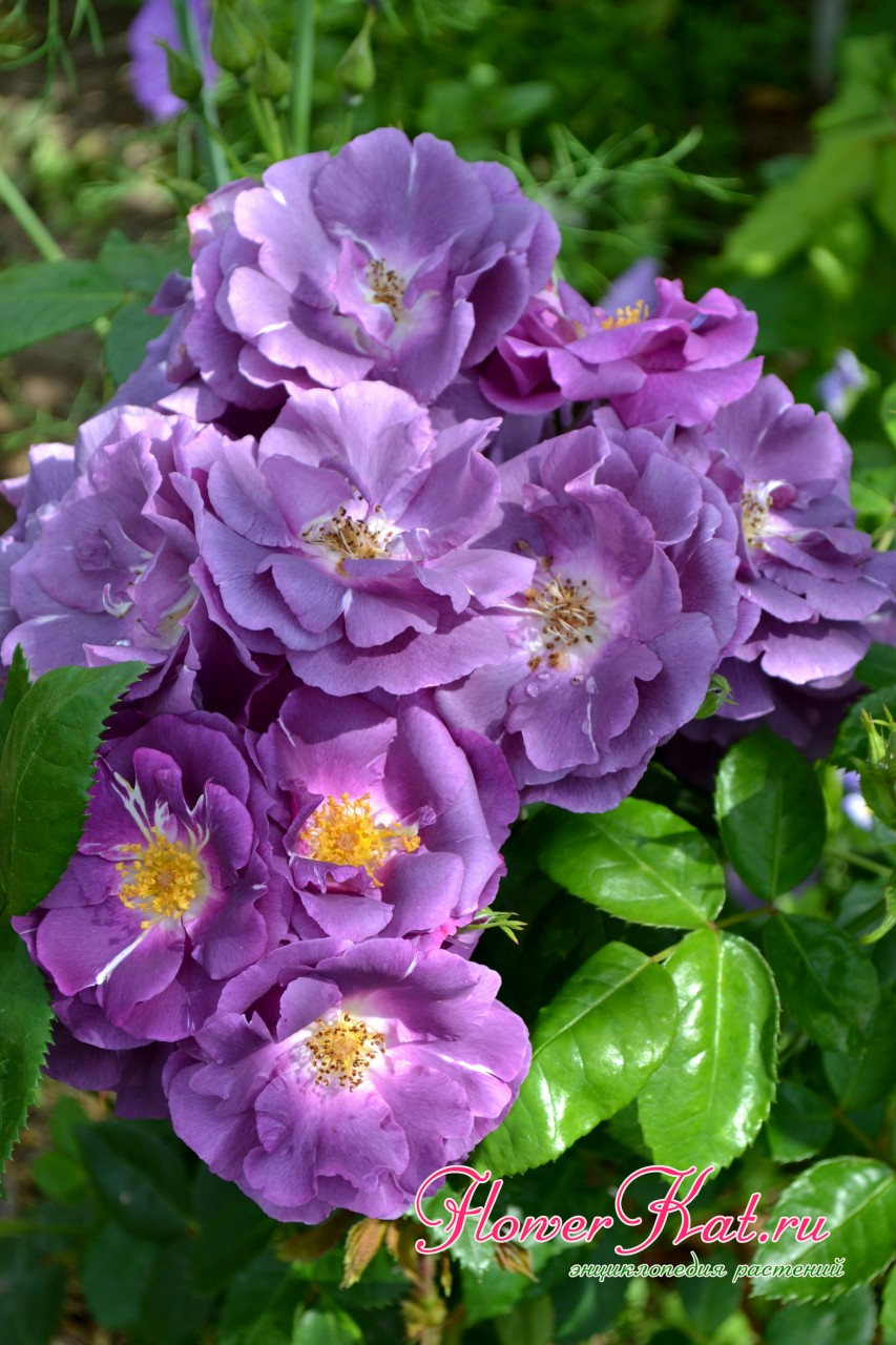 Роза шраб Рапсодия - цветы