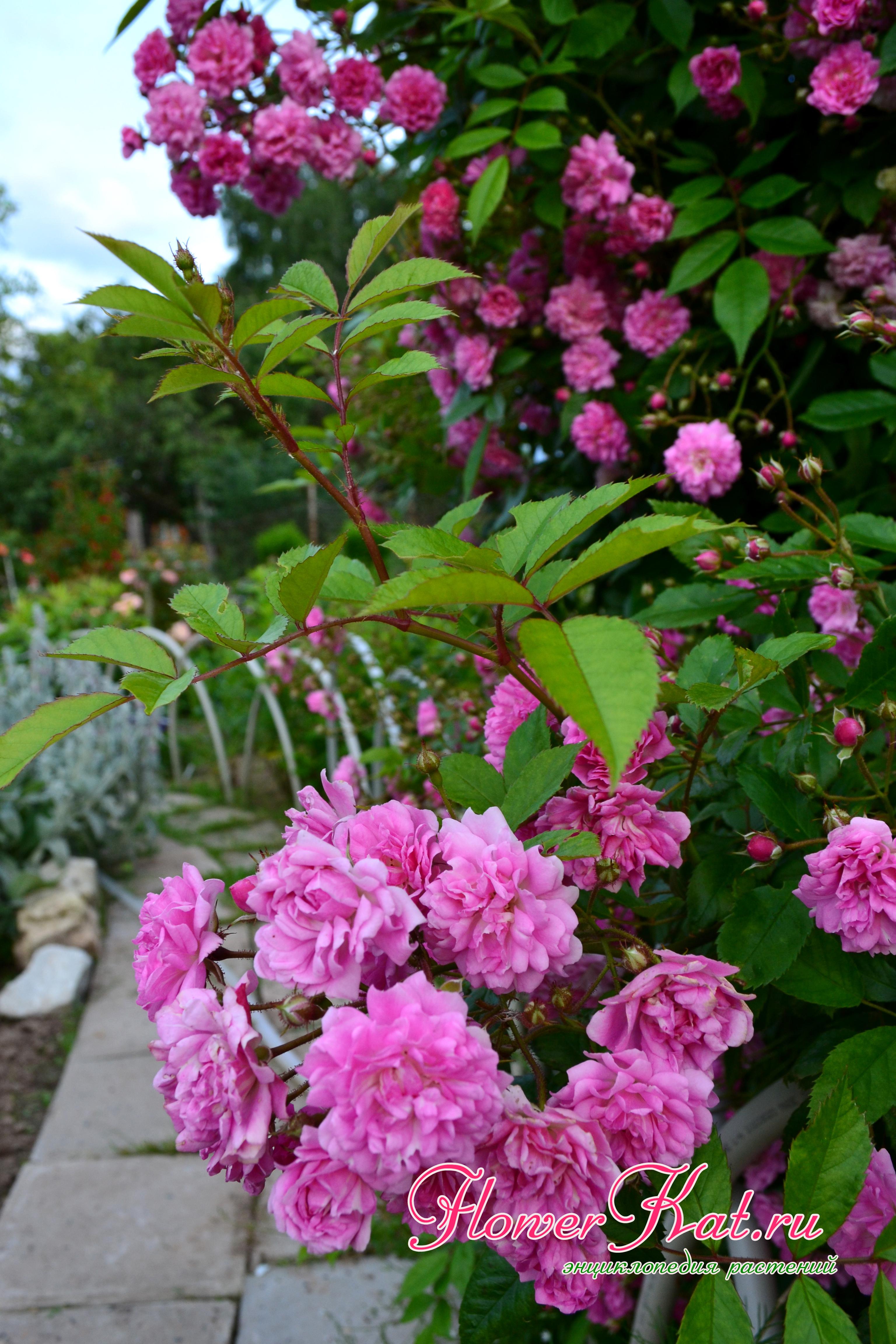 хорошо роза вартбург фото и описание для фотошопа