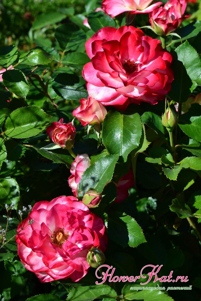 Фотография отцветающей розы Юбилей Принца Монако