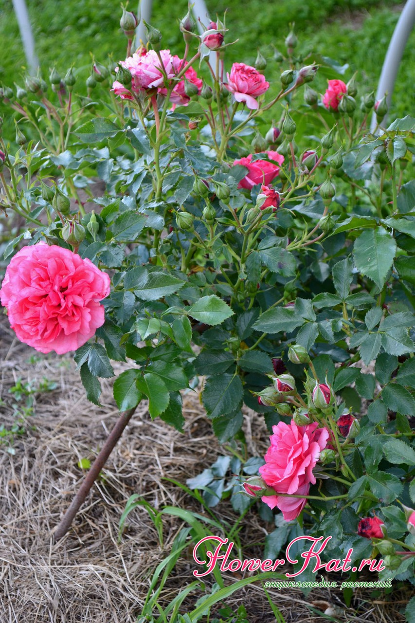Фото молодого куста розы Розариум Ютерсен