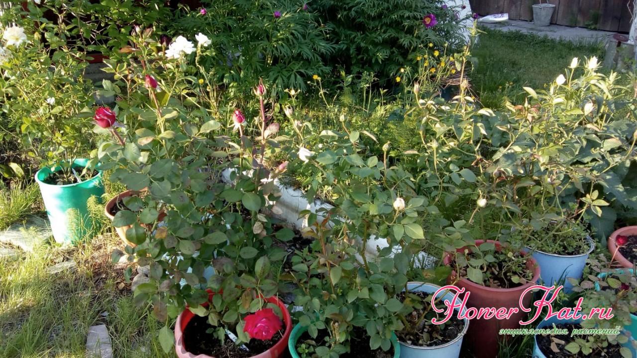 Розы в горшках цветут неплохо, особенно на фоне тех, которые зимовали в грунте - фото
