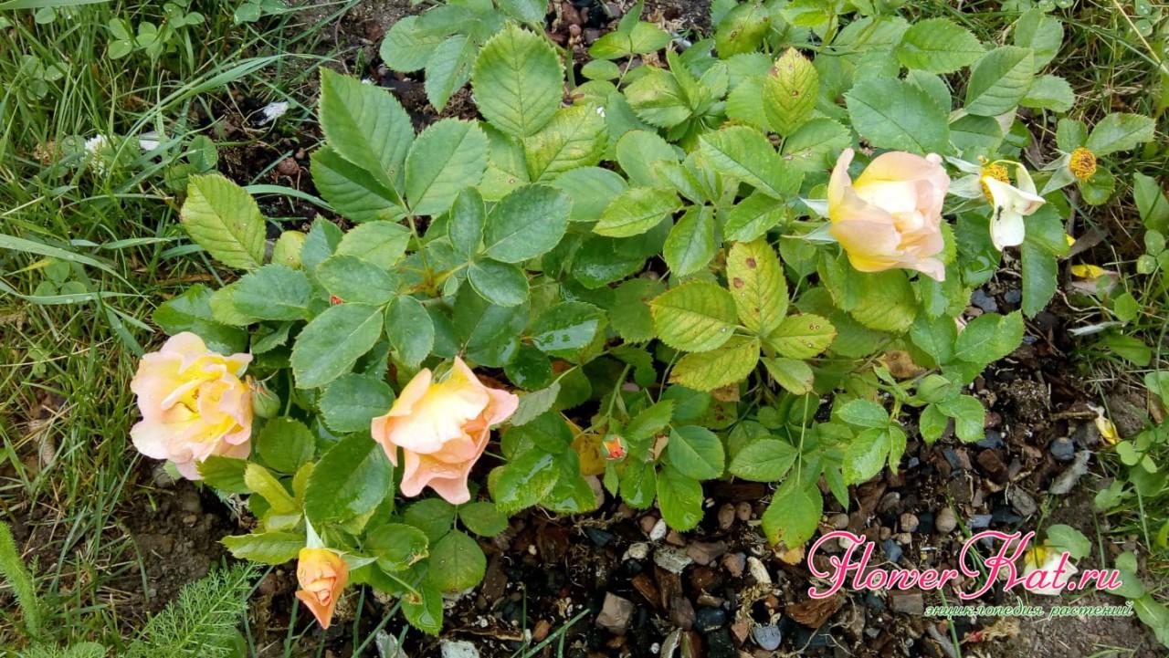 Фотография розы, высаженной из горшка в грунт