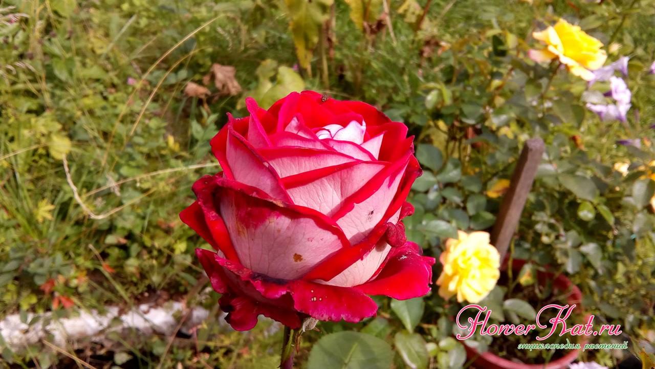 Фото розы сорта Luxor в горшке