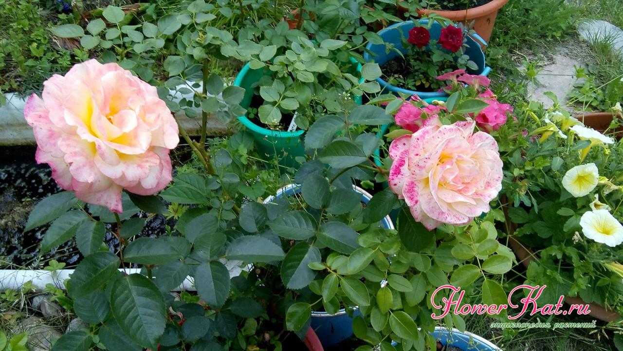 Фото розы Глория Дей в горшке