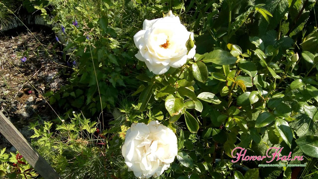 Белая роза, высаженная из горшка в грунт - фотография