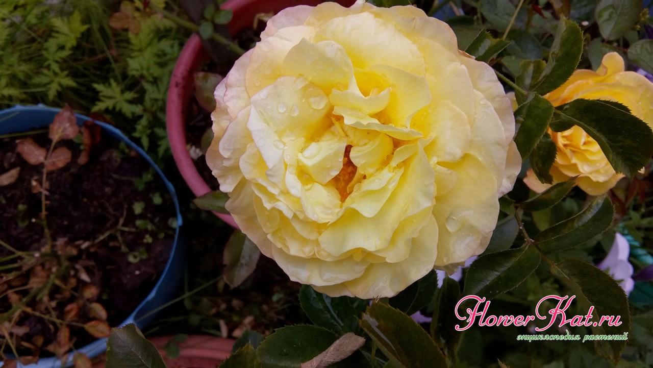 Фото розы Глория Дей, которая растет в горшке на улице