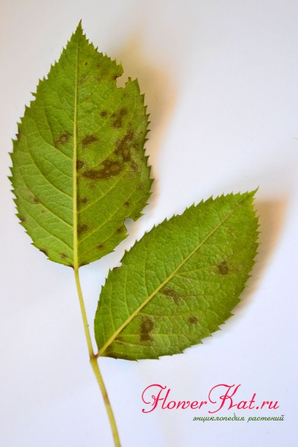 Фото внутренней стороны листа розы, пораженного черной пятнистостью