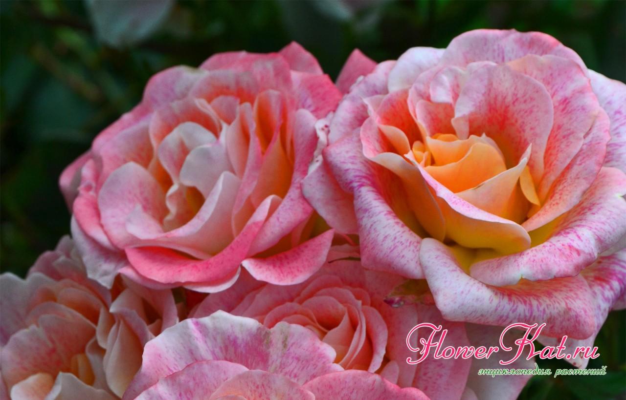 Роза Мишель Серро - фото к описанию сорта в энциклопедии роз Flowerkat
