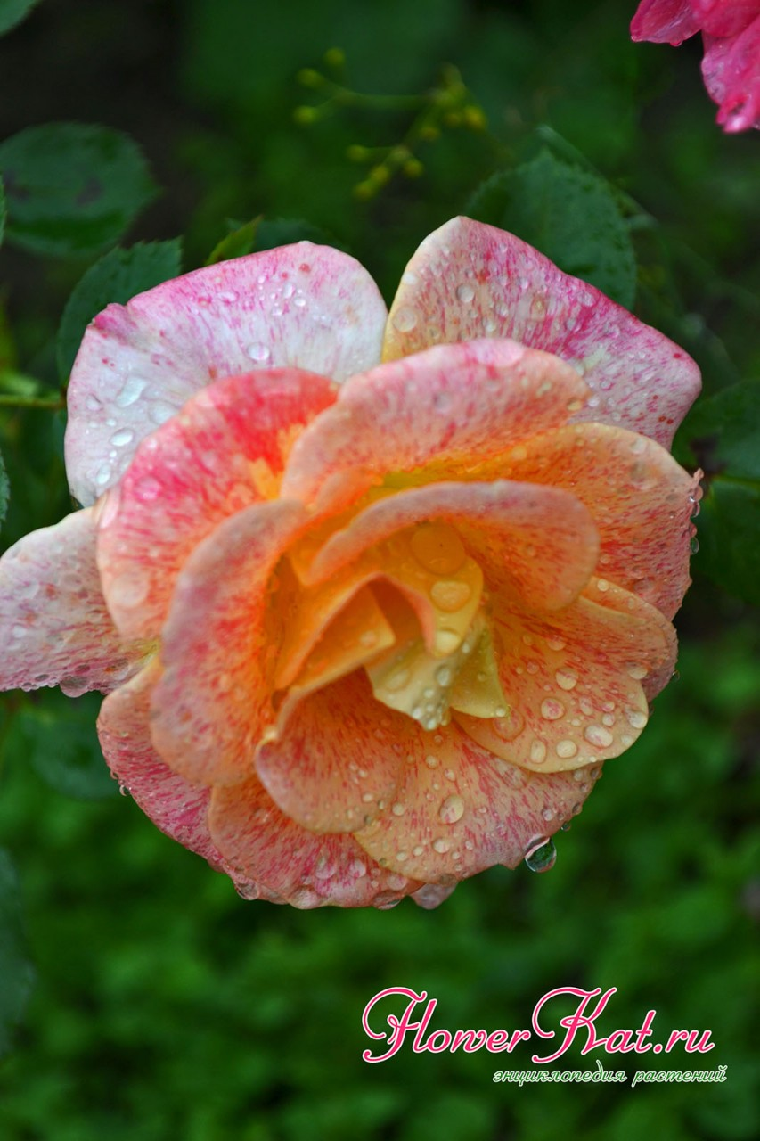 Роза Мишель Серро цветет не слишком обильно - на боковых побегах по одному цветку - фото