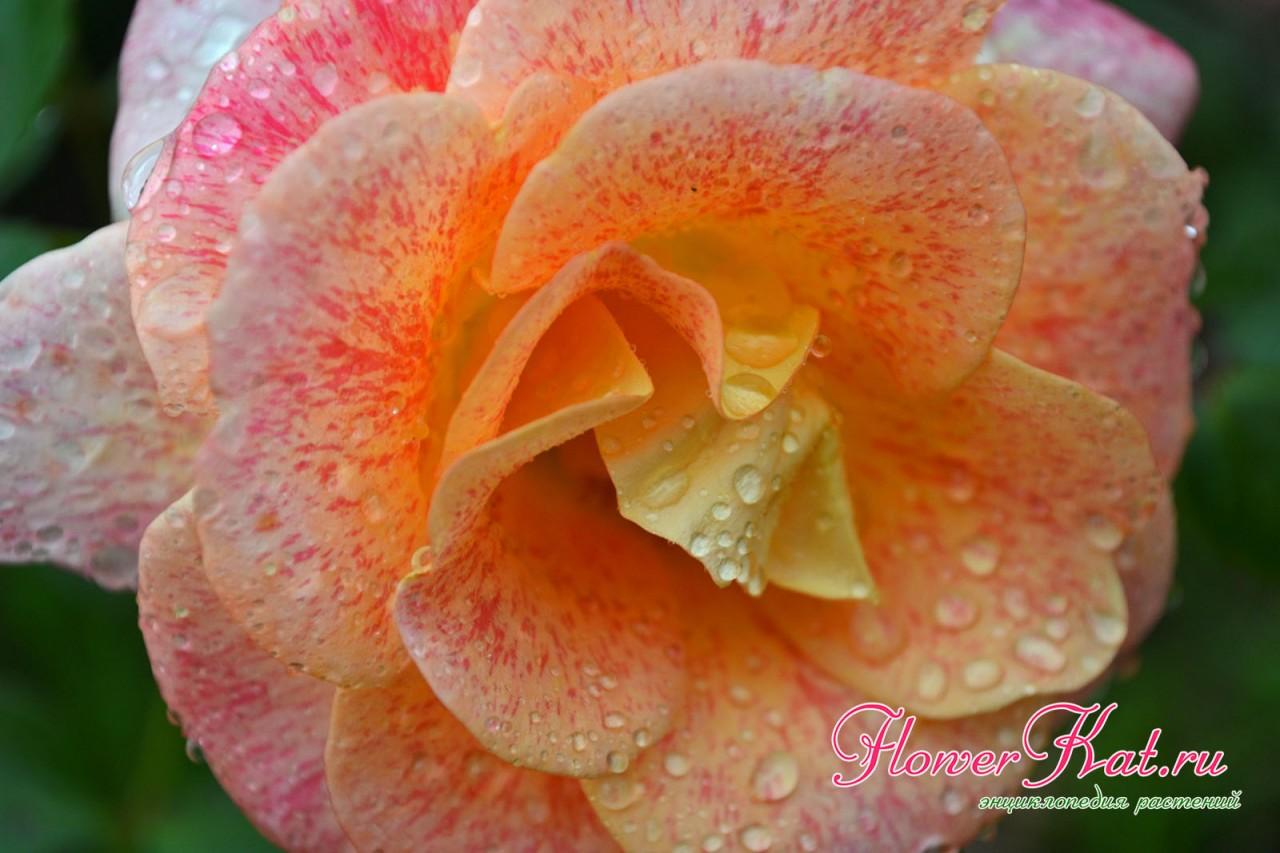 Фото розы Мишель Серро крупным планом