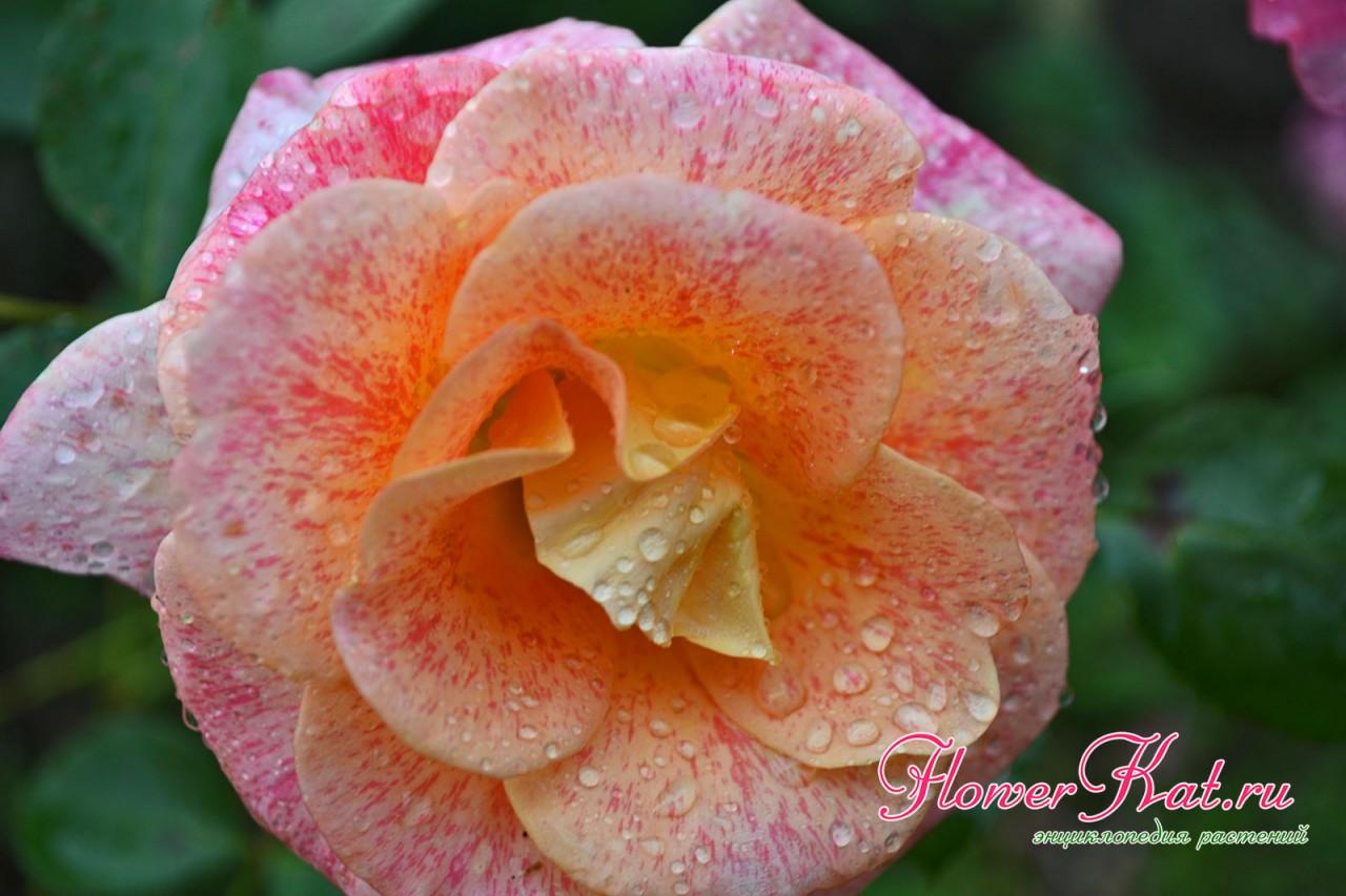 Яркие и теплые краски на цветах розы Мишель Серро