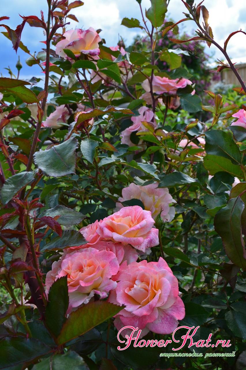 Фотография куста розы Мишель Серро