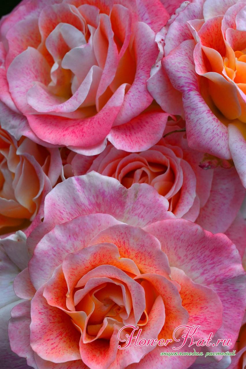 Соцветие розы Мишель Серро крупным планом - преобладает розовый