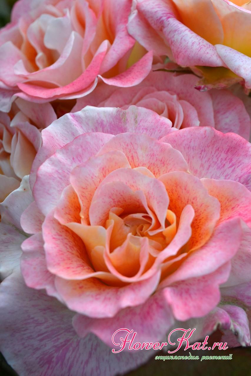 Розы Мишель Серро могут незначительно менять окраску - фотография