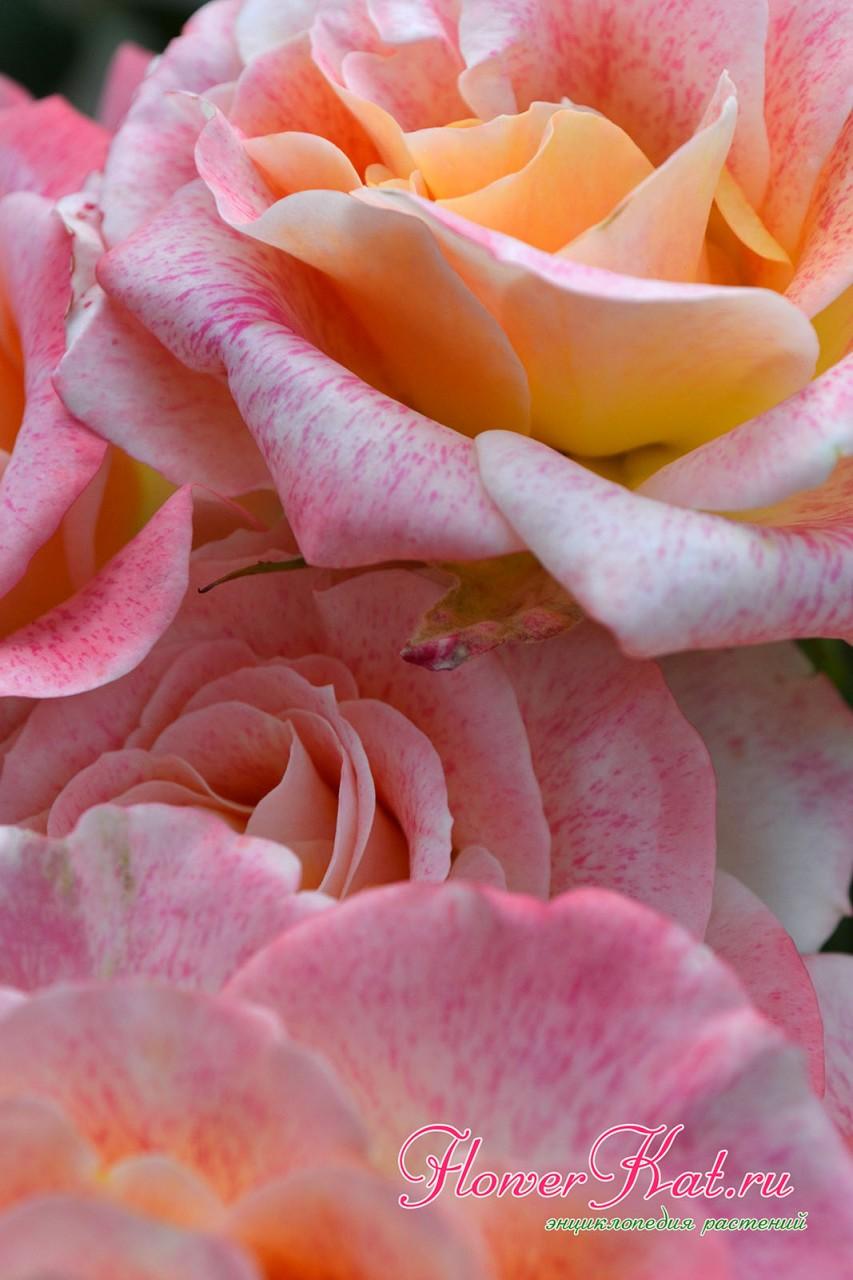 Фотография крупным планом цветов розы Мишель Серро