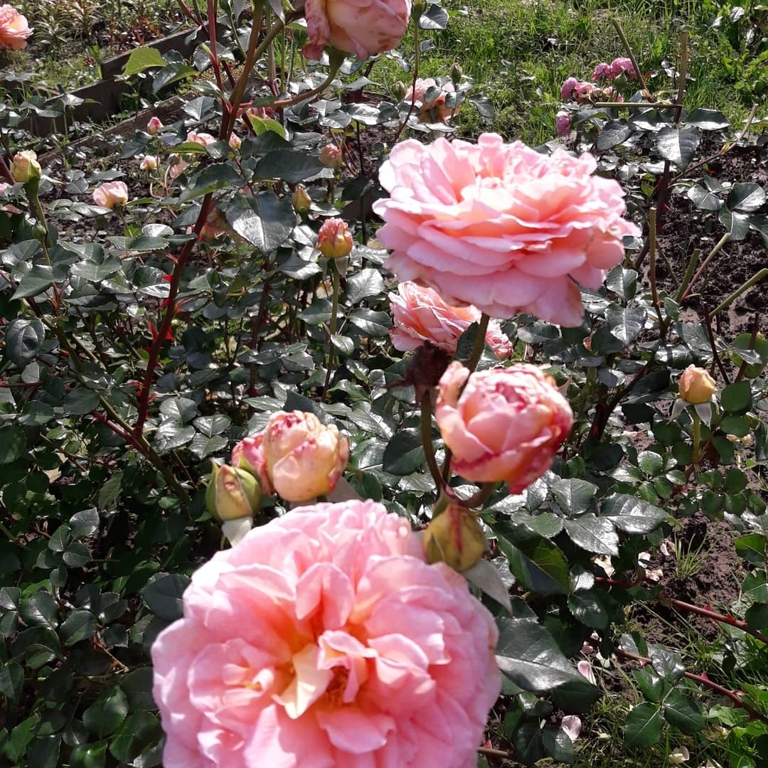 Роза Абрахам Дерби - Это Абрахам Дерби. Хороший сорт, долго цветет, почти не болеет, очень сильно и приятно пахнет