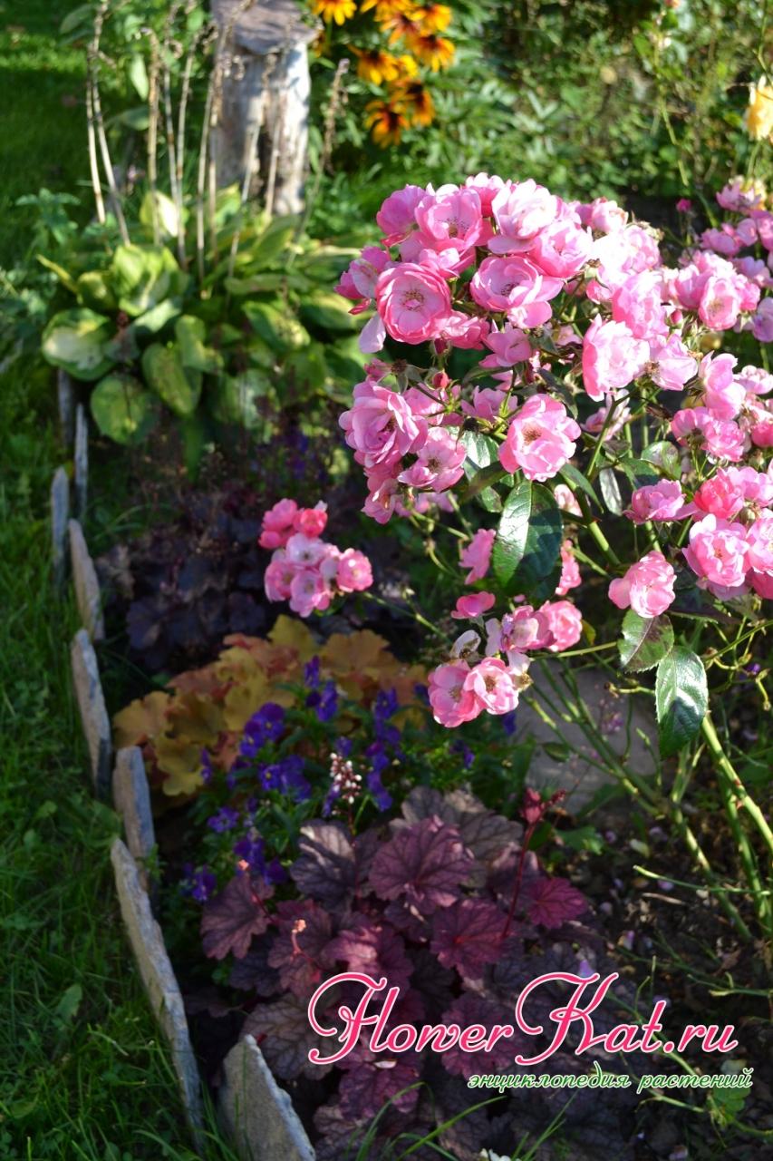 Мои лучшие розы 08.09.2019 - Ветка Анжелы с другого ракурса. Цветет обильно, но нижние части побегов уже полностью лысые. Начала облетать еще до того как проявились черные пятна на листьях, видимо особенность сорта