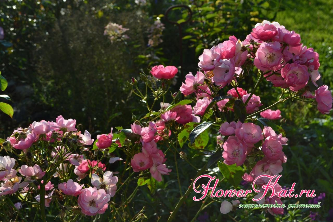 Мои лучшие розы 08.09.2019 - Роза Анжела - ей нипочем дожди, хотя ЧП одолевает и ее. Сил хватает на очень обильное цветение, которое ничем не уступает летнему