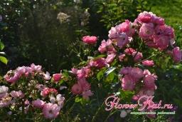 Мои лучшие розы 08.09.2019