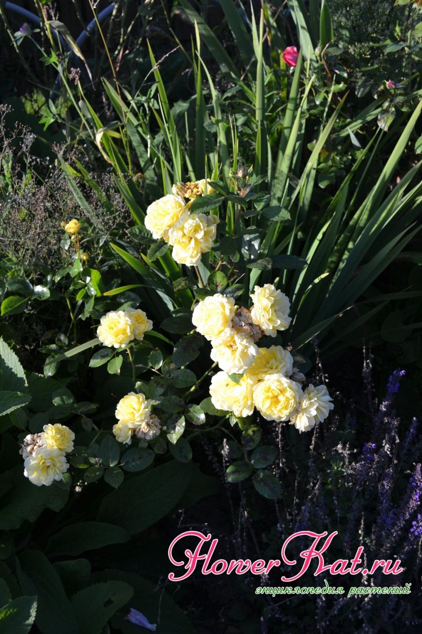 Мои лучшие розы 08.09.2019 - Роза Анна Дюпре