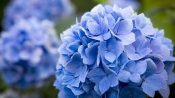 blue-hydrangea-flowers