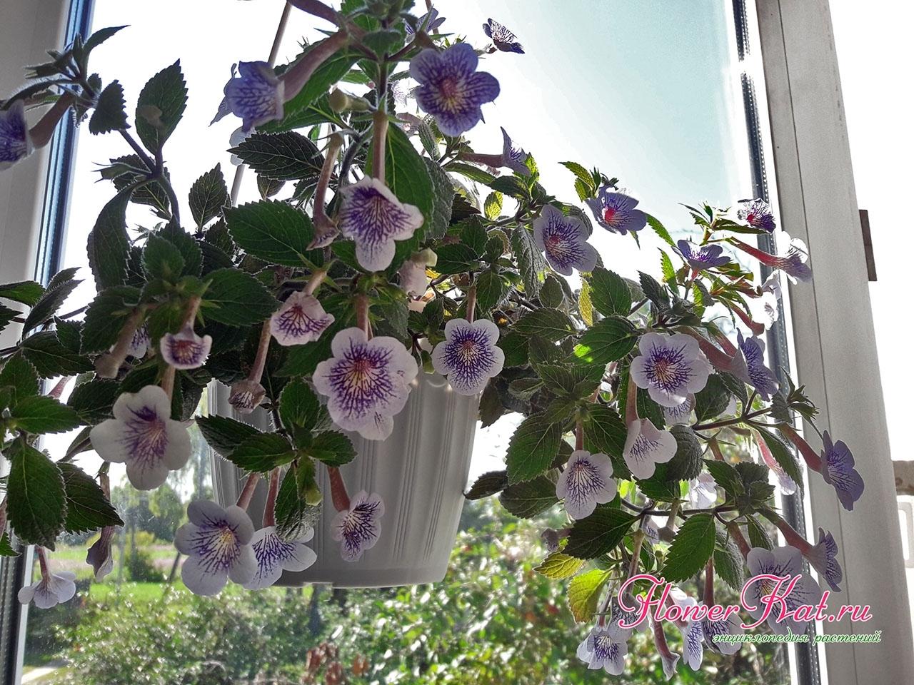 Ахименес Ambroise Verschaffelt - Амбросия Вершафель 100 р. - Очень быстро нарастает, цветет практически постоянно, образует множество здоровых ризом