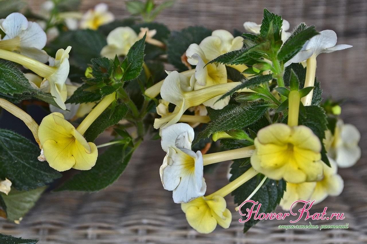 Ахименес Himalayan Sunrise Гималаи санрайз 70 р - Шикарный желтый ахименес с очень обильным и продолжительным цветением