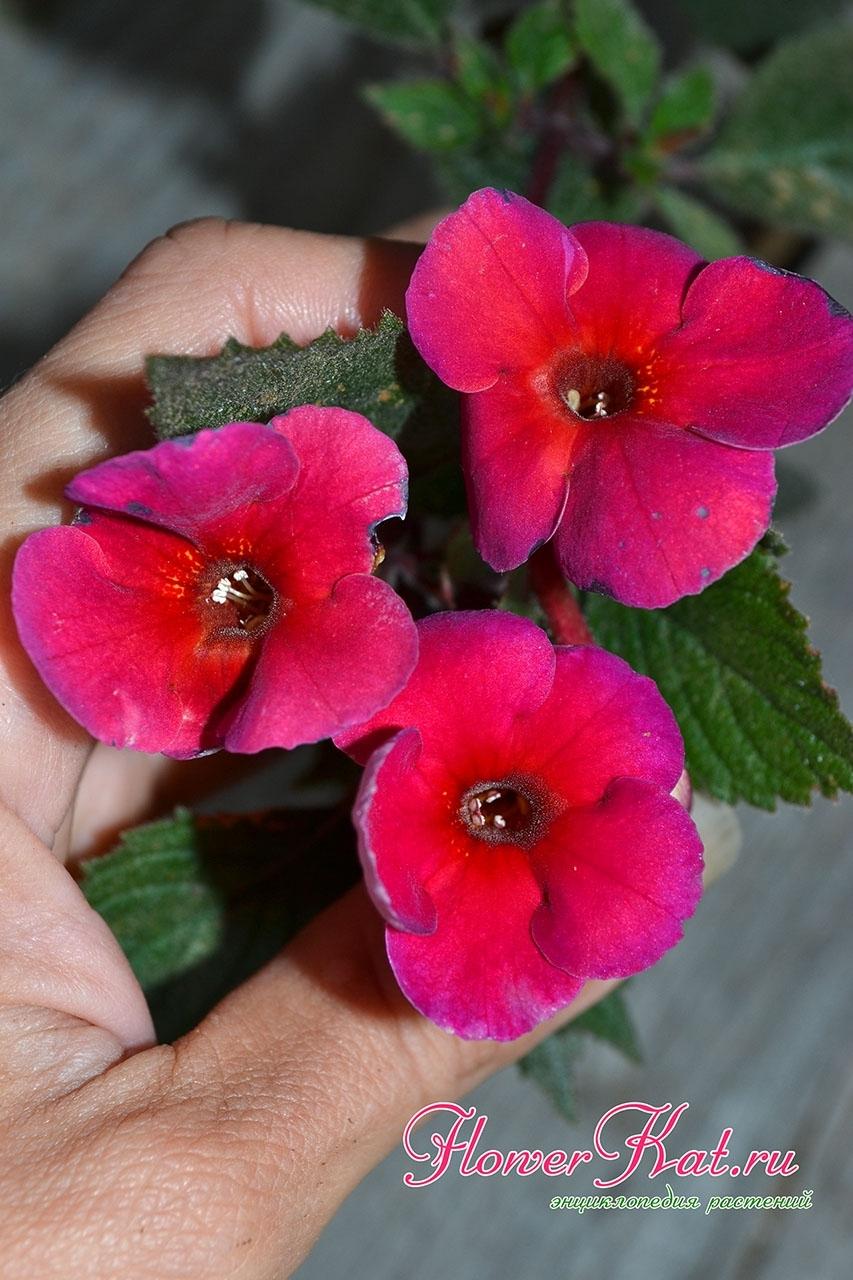 Ахименес Nocturne Ноктюрн 50 р - Очень яркий ахименес с необычными цветовыми переходами на лепестках. Понравится тем, кто любит яркие краски