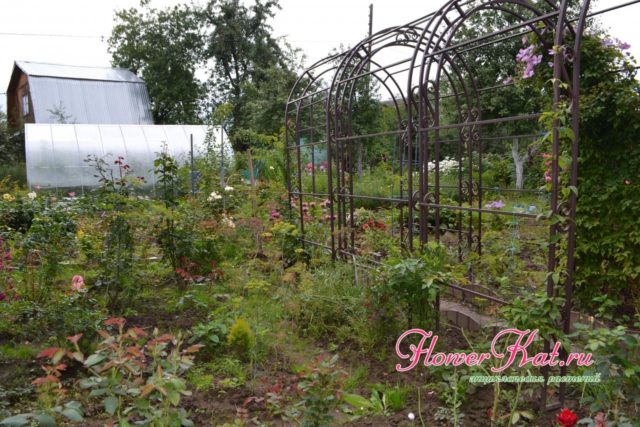 Новые арки под розы и клематисы - Новые арочки, к которым подсажены плетистые розы и клематисы. Надеюсь в скором времени будет цветущий коридор.
