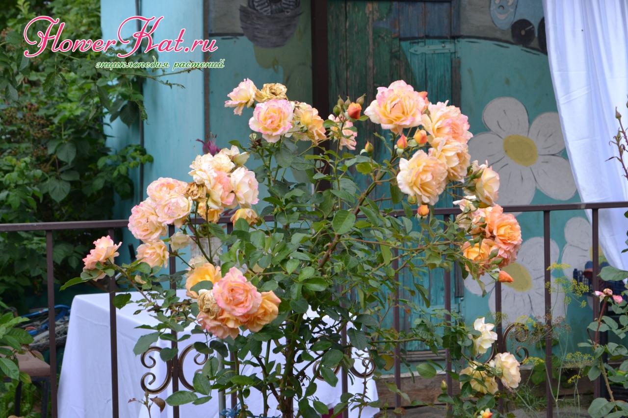Сад Таты 2019 02.03.2020 - Роза Мишка в полном цвету