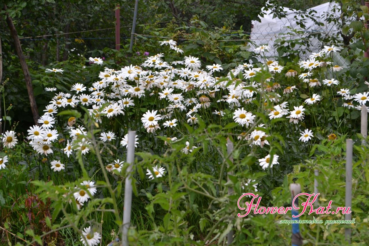 Сад Таты 2019 03.03.2020 - Ромашки радую в те моменты, когда другие цветы в саду отдыхают..