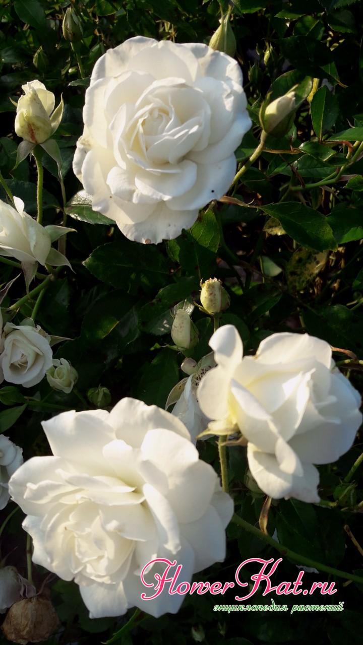 Снежно-белые цветы розы Айсберг