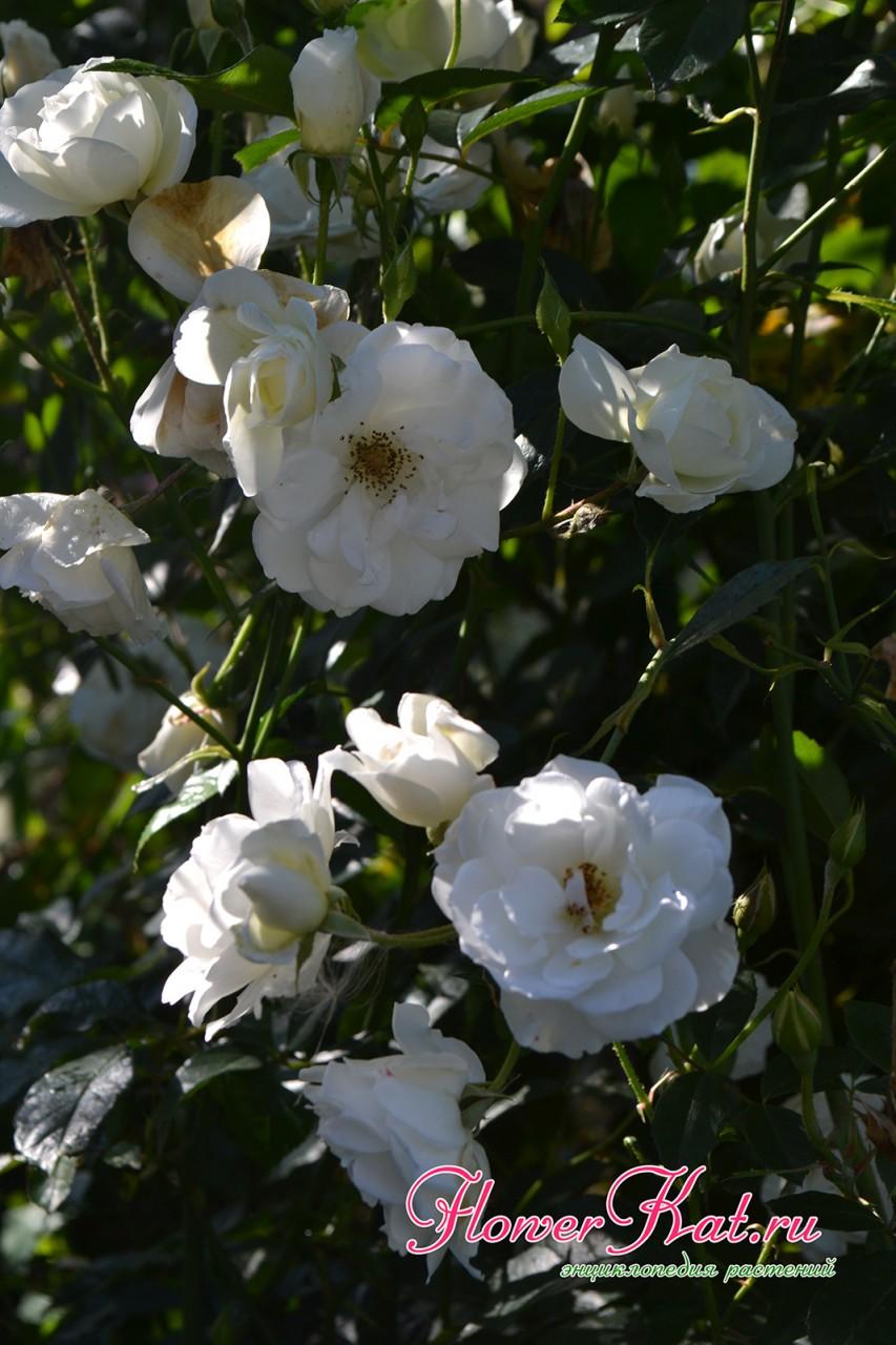 Полностью раскрытые цветы розы Шнеевитхен