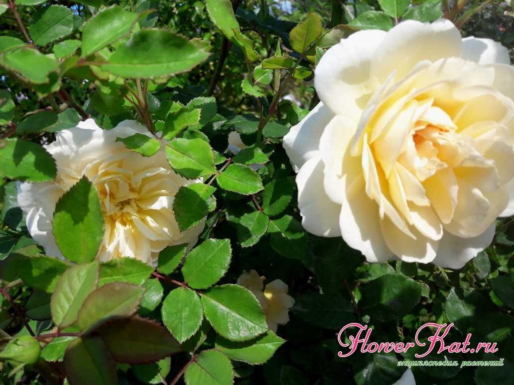 Фотография цветка Крокус Роуз крупным планом