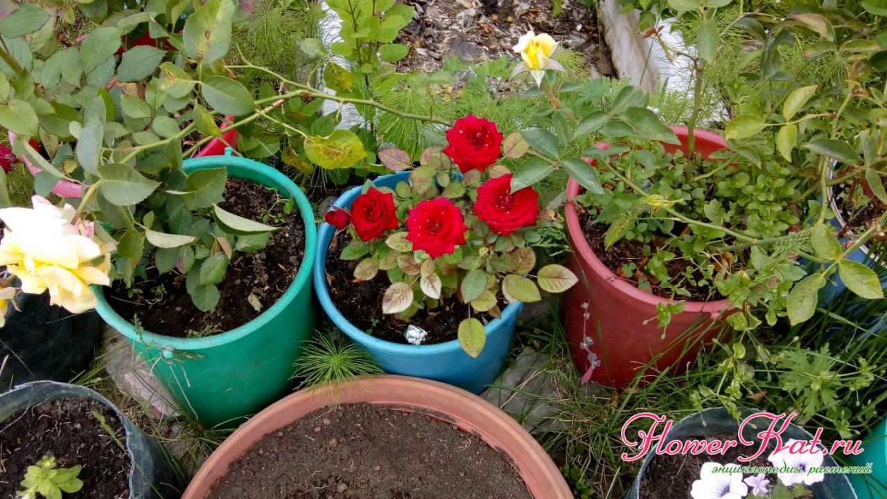 Роза в горшках из ведер в условиях Сибири