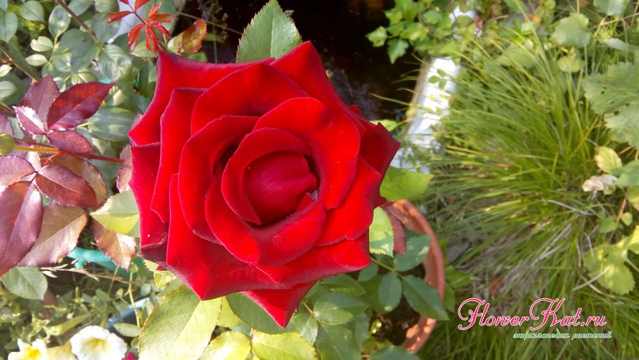 Фото розы Black Magic, растущей в горшке