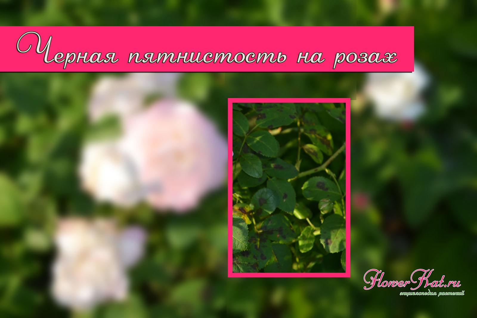 Черная пятнистость на розах - фото к большой статье